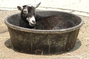 goat_in_a_bucket